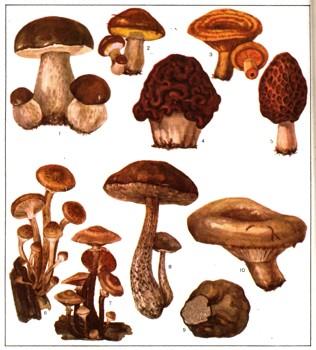 Съедобные грибы 1 — белый гриб